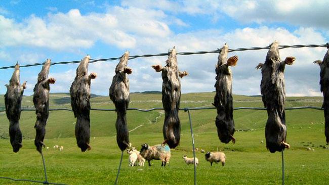 Här hänger döda mullvadar. Foto: Wikipedia