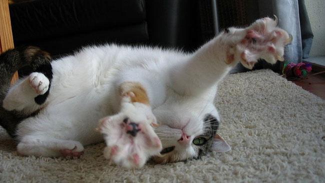 Äntligen finns det en kattvideofestival, som vi längtat! Foto: Wikipedia