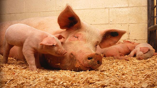 varför äter inte muslimer gris