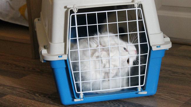 Katten tittar förundrat ut genom buren efter en lång resa. Foto: Nyheter Idag
