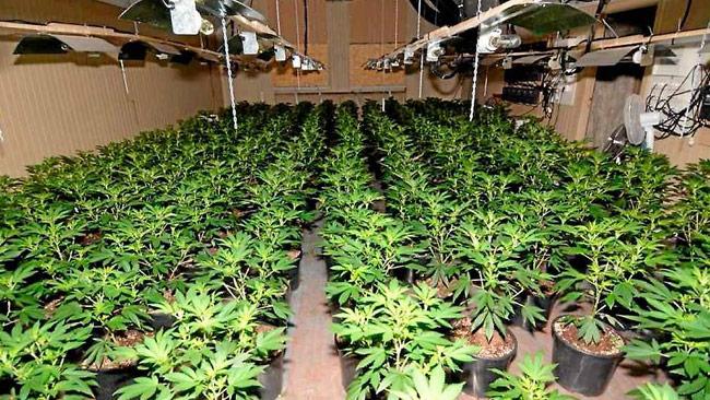 Nya WHO-rapporten säger varken bu eller bä om dessa plantors eventuella legalisering. Foto: Polisen
