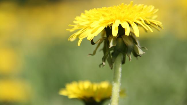 Maskrosen är miljöpartiets symbol. Foto: Flickr.